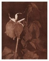 Wilted Rose image 8x10